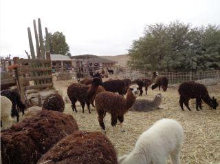 Ферма, производство шерсти, альпаки, овцы